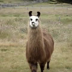 ugliest llama i have ever seen